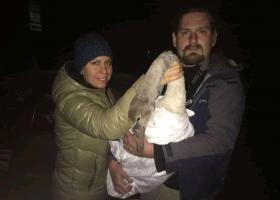 На огород к людям упал травмированный лебедь