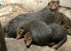 В столичном зоопарке обживаются кузиманзы