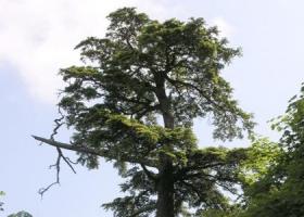Самое старое дерево в Европе обнаружили в Италии